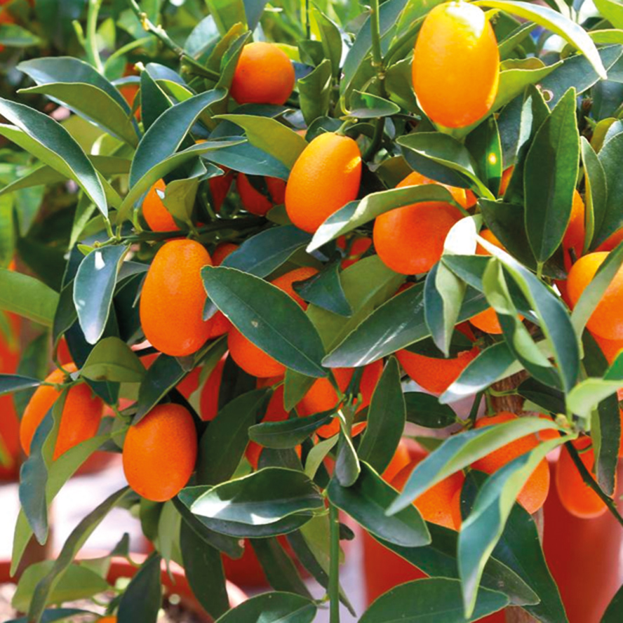 agrumi-pianta-frutto-vivai-porcellato-srl-03