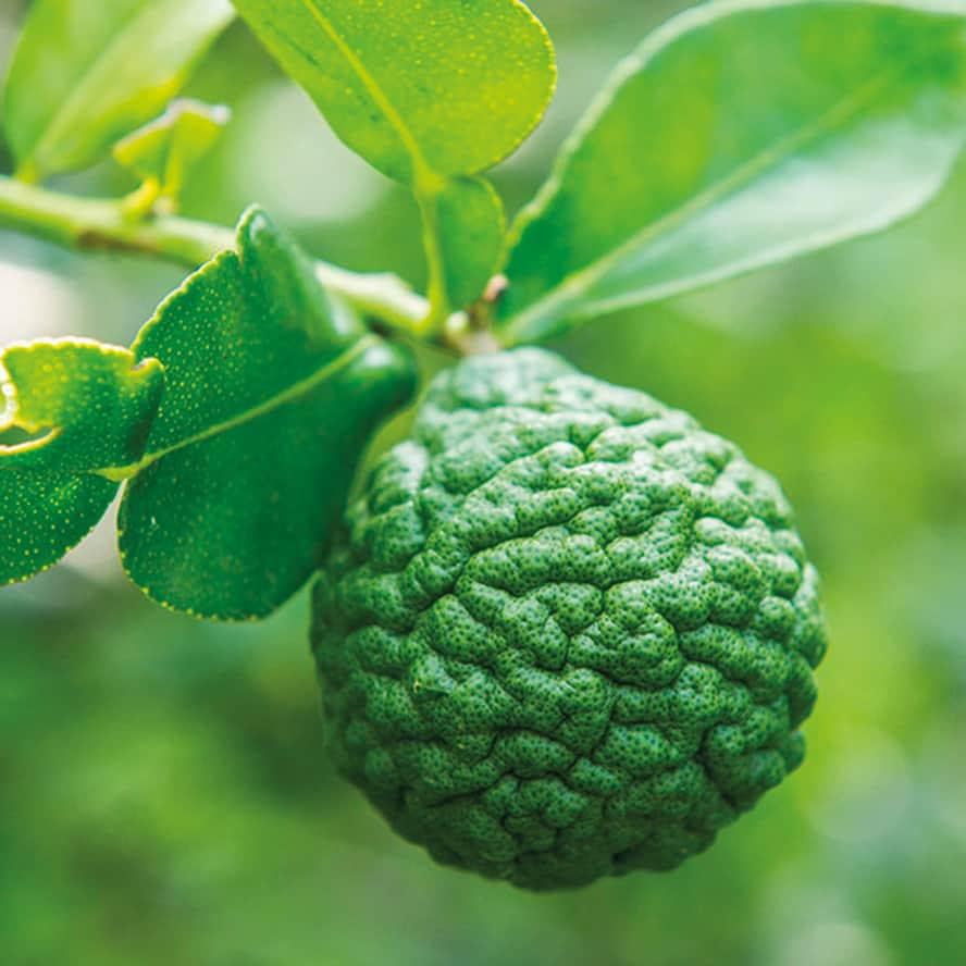 agrumi-pianta-frutto-vivai-porcellato-srl