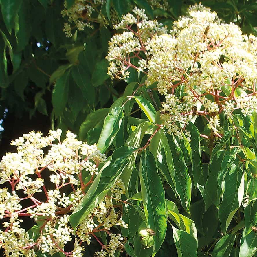 albero-miele-vivai-porcellato-srl