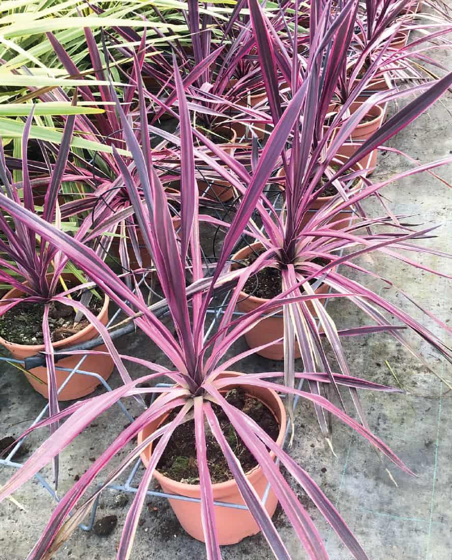 cordyline-australia-purpurea-vivai-porcellato-srl