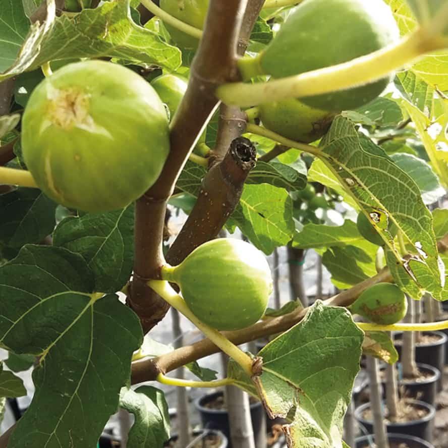 fico-pianta-frutto-vivai-porcellato-srl