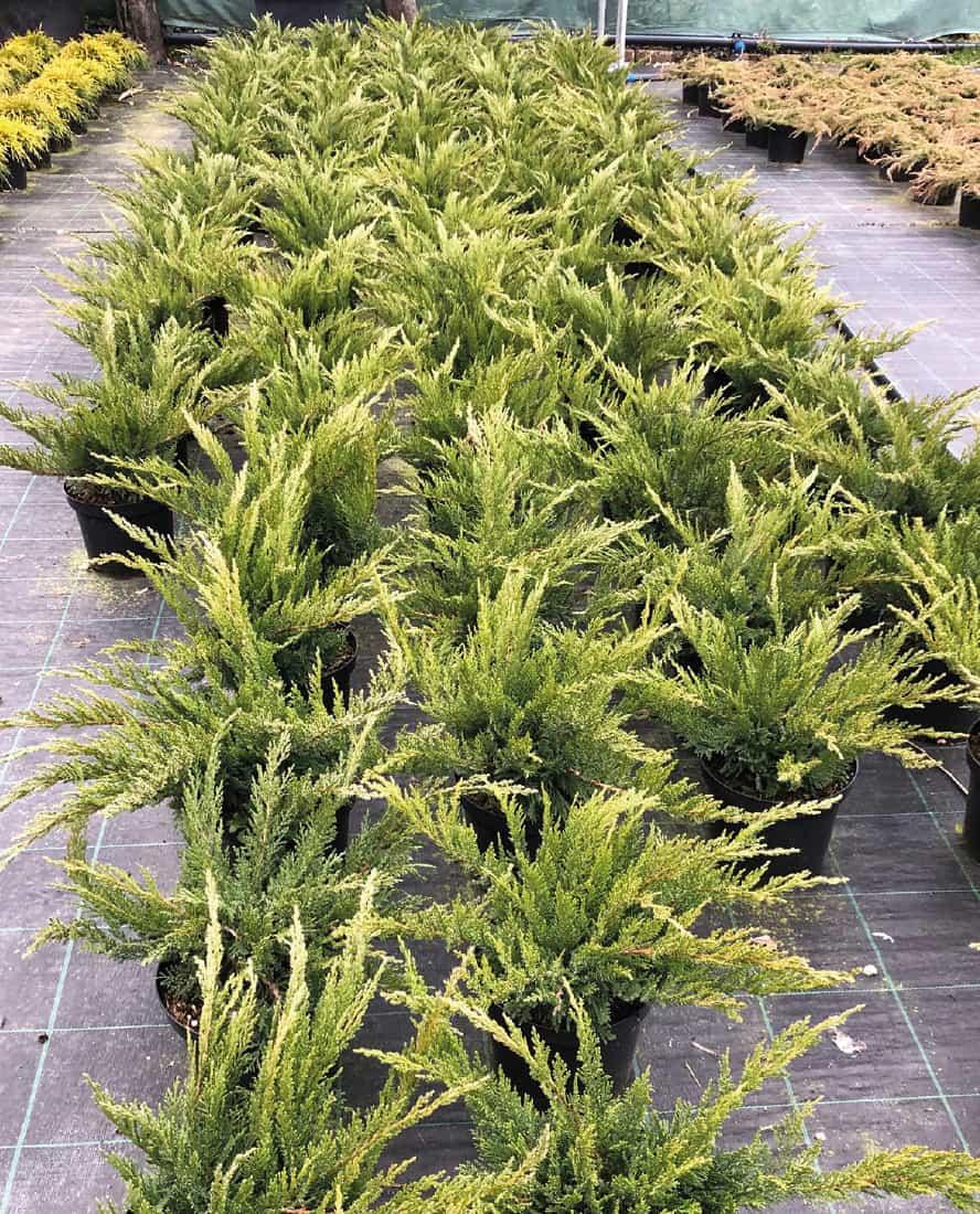 juniperus-horizontalis-old-gold-vivai-porcellato-srl