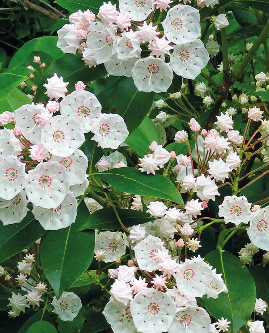 kalmia-latifolia-vivai-porcellato-srl