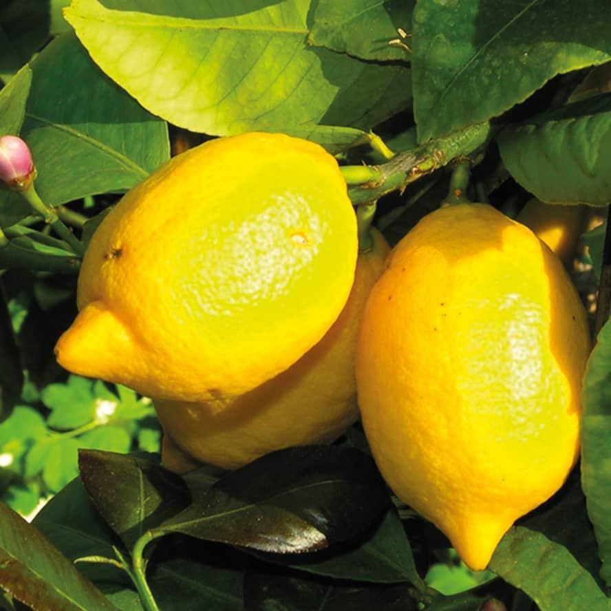 limone-pianta-frutto-vivai-porcellato-srl