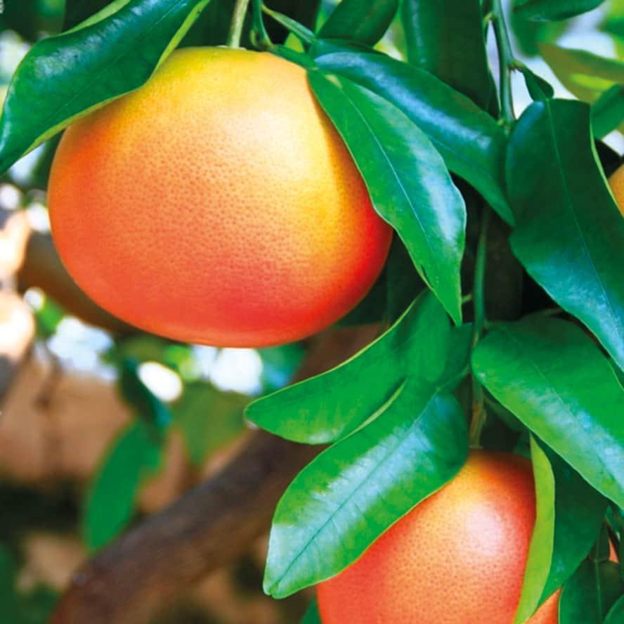 mandarino-pianta-frutto-vivai-porcellato-srl