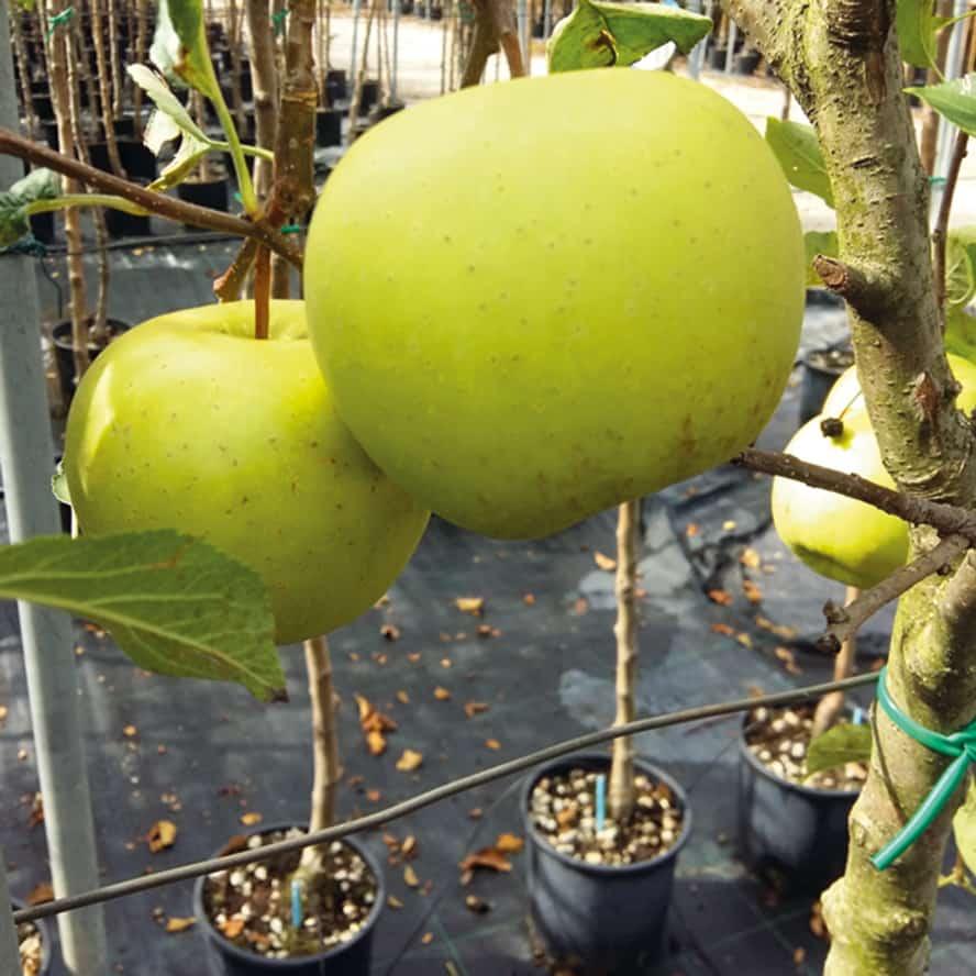 mela-pianta-frutto-vivai-porcellato-srl