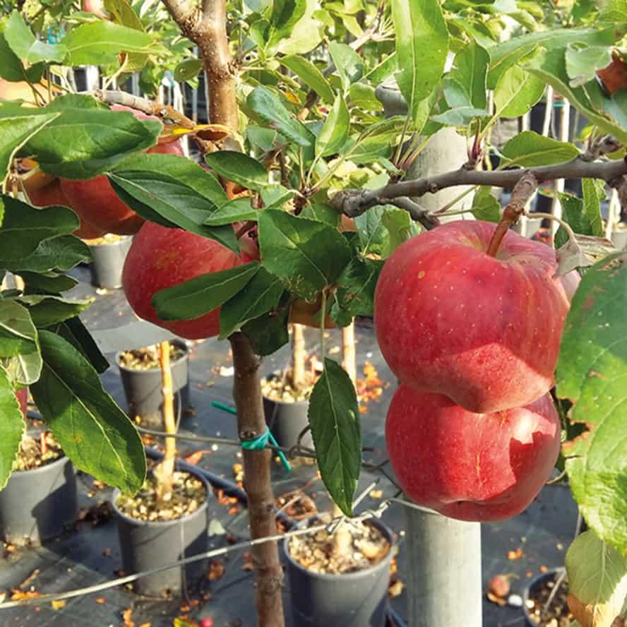 melo-pianta-frutto-vivai-porcellato-srl