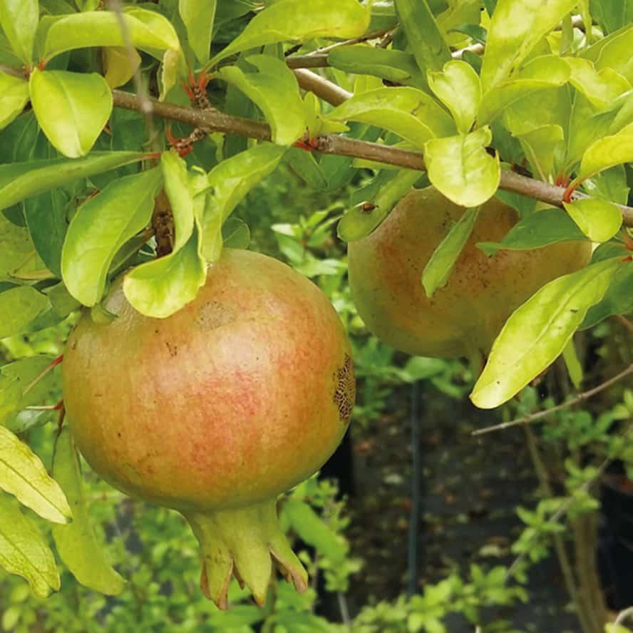 melograno-pianta-frutto-vivai-porcellato-srl