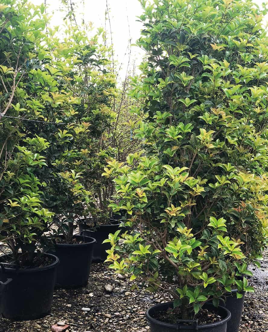 osmanthus-aquifolium-vivai-porcellato-srl