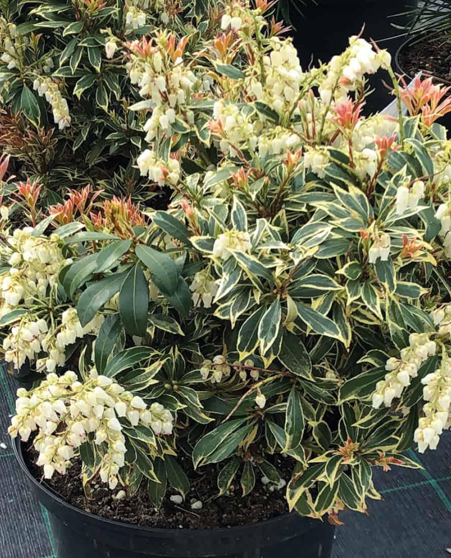 piante-acidofile-peris-vivai-porcellato-srl
