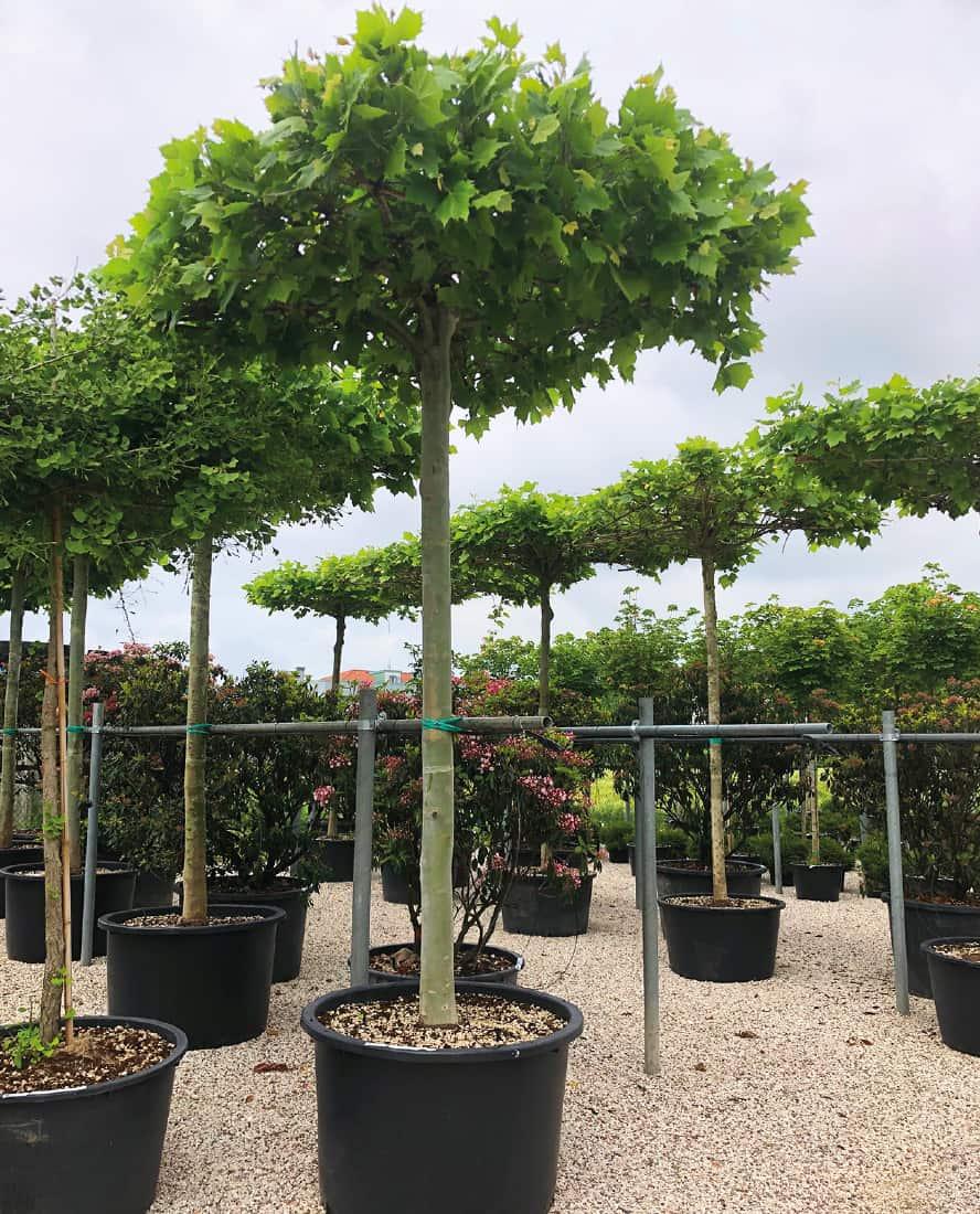 platanus-acerifolia-vivai-porcellato-srl
