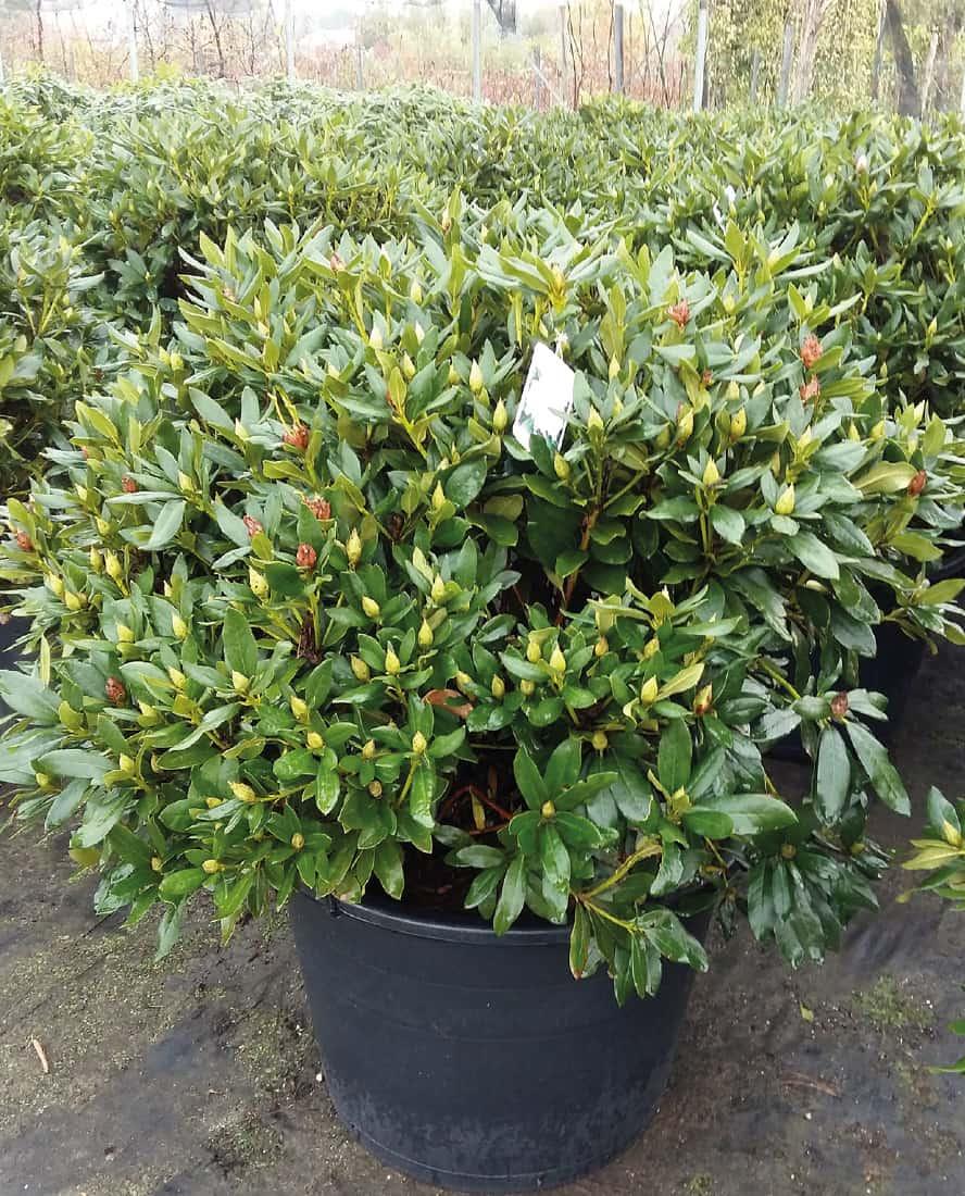rhododendron-in-varieta-vivai-porcellato-srl