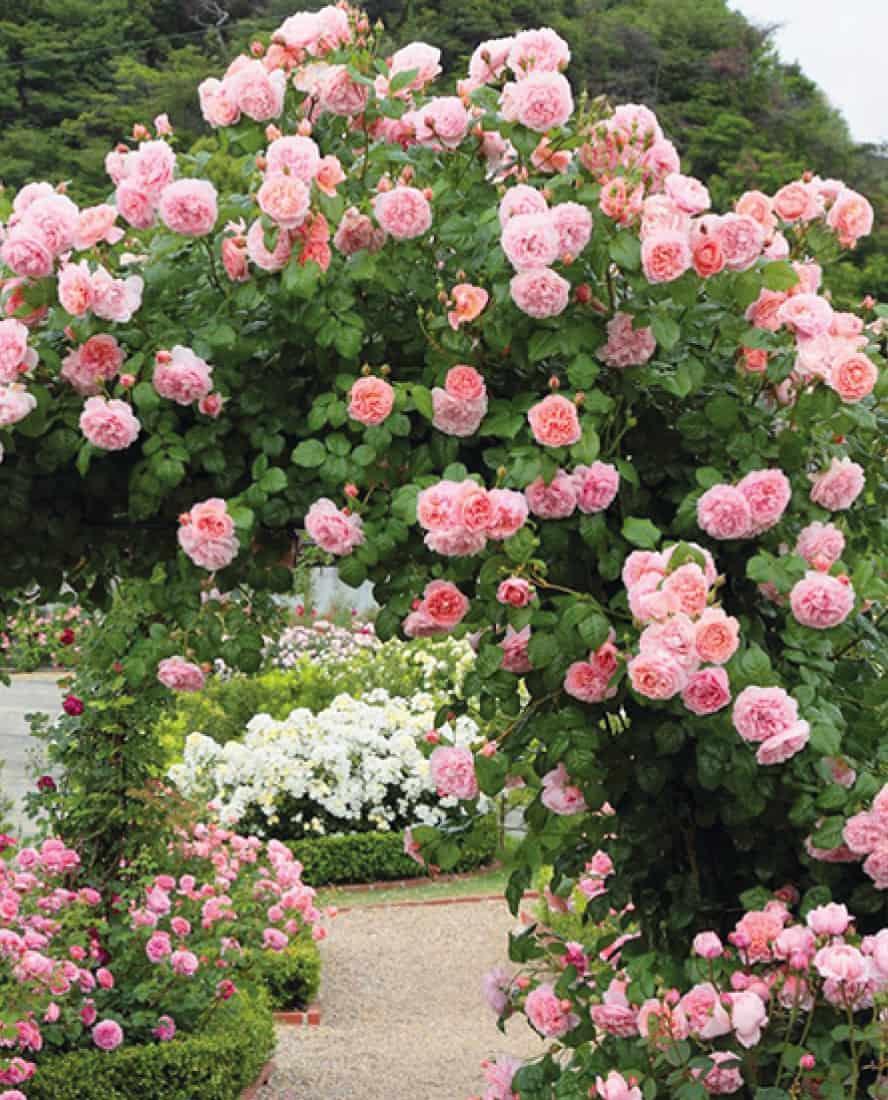 rose-rampicanti-vivai-porcellato-srl
