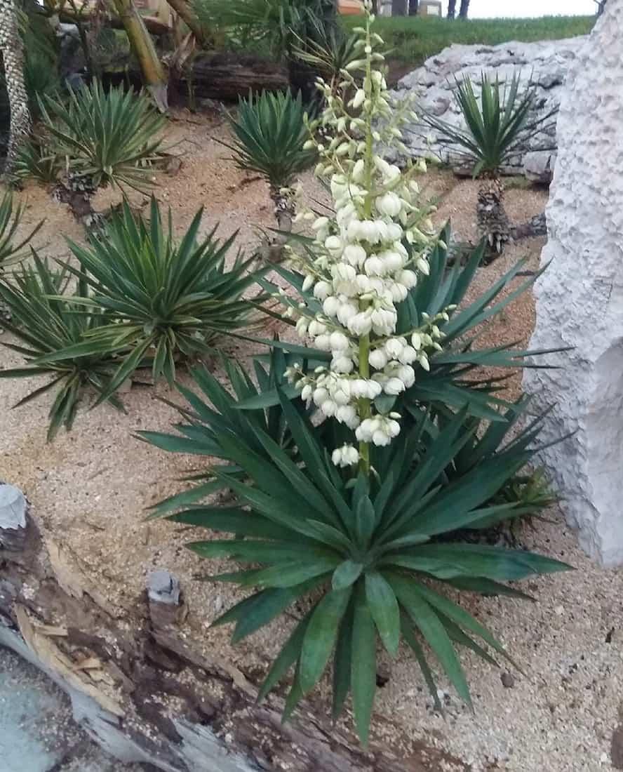 yucca-gloriosa-vivai-porcellato-srl