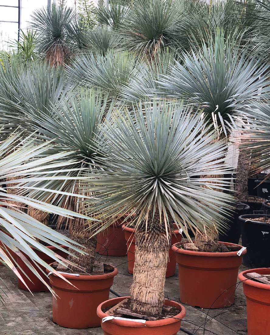 yucca-rostrata-vivai-porcellato-srl