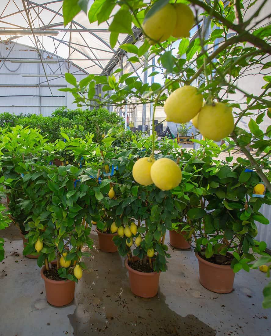 piante-frutto-vivai-porcellato-srl-06