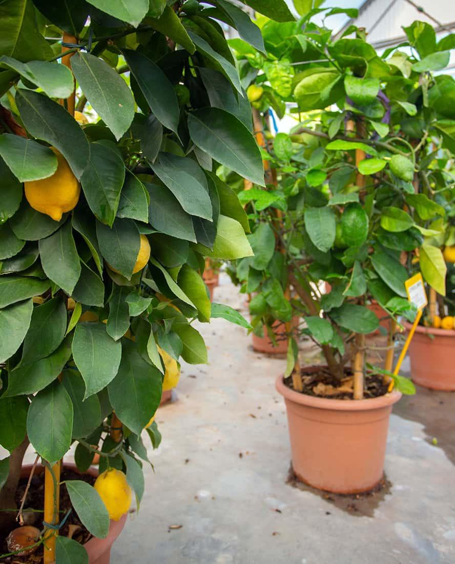 piante-frutto-vivai-porcellato-srl-08