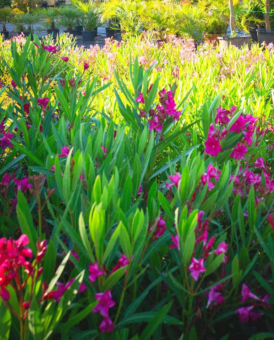 vivai-piante-ornamentali-loria-pistoia-porcellato-srl-jury-barbara-arianna-03