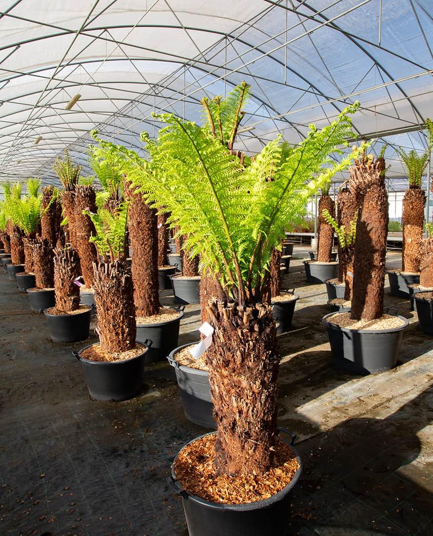 vivai-piante-ornamentali-palme-loria-pistoia-porcellato-srl-jury-barbara-arianna-01