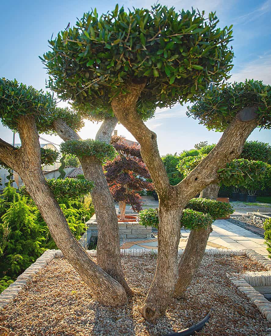 vivai-piante-ornamentali-ulivi-loria-pistoia-porcellato-srl-jury-barbara-arianna-01